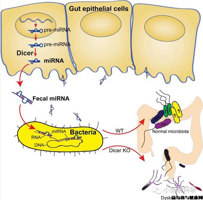 宿主通过microRNA调控肠道微生物多样性